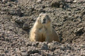 800px-Alerted_Prairie_Dog_Guarding_the_Entrance_to_its_Hole