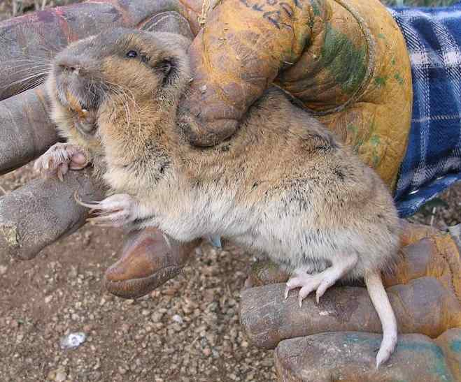 List of Ways on How to Kill or Get Rid of Pocket Gophers