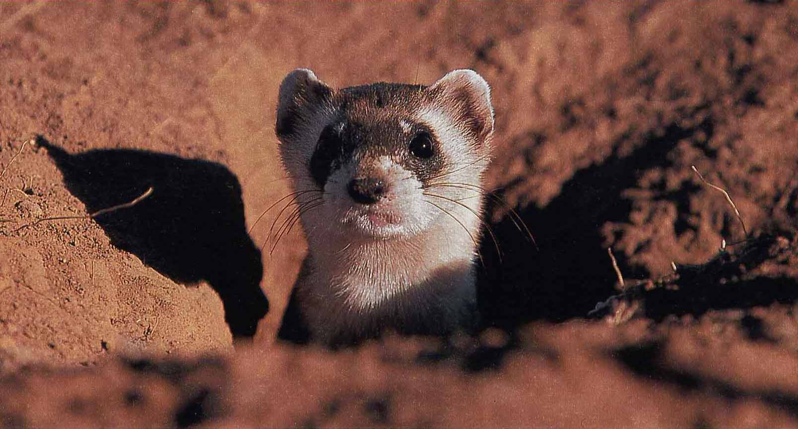 the factors contributing to the extinction of the ferrets Web site of the endangered species program, a program within the fish & wildlife service a variety of factors contributed to lynx reduced range the black-footed ferret was considered extinct or nearly extinct when a small population was located in mellette county.