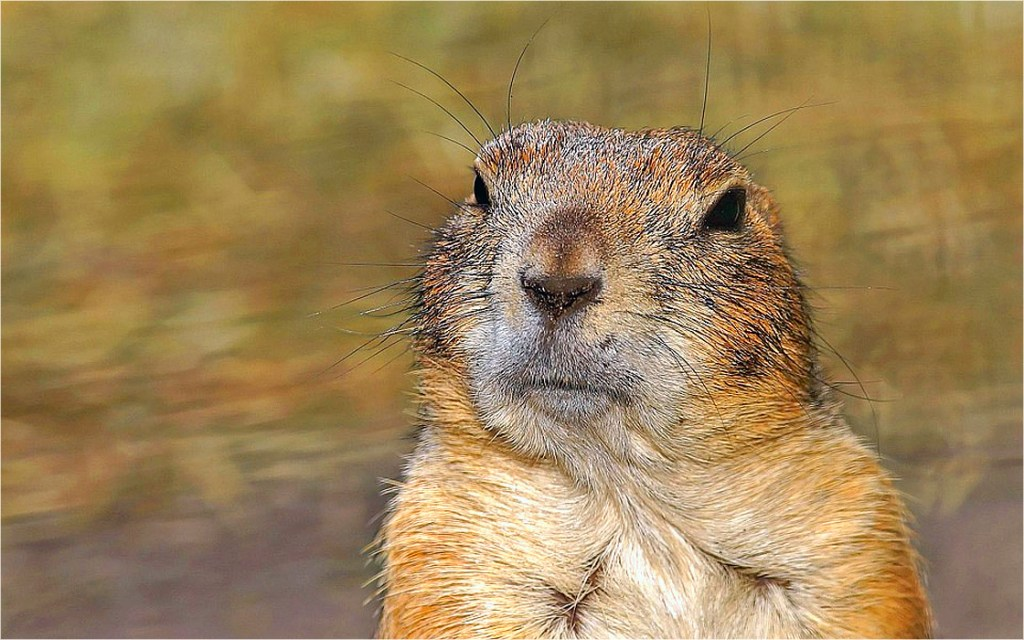 Endangered species act archives prairie dog pals a prairie rejuvenation group claims the department of agriculture has poisoned 123000 prairie dogs in colorado and shot another 39000 without doing a m4hsunfo